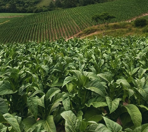 Tobacco Farming and Curing | PMI - Philip Morris International
