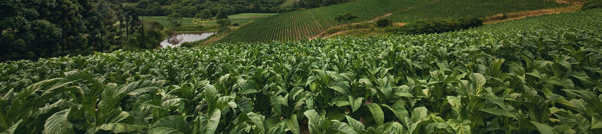 banner tobacco farming