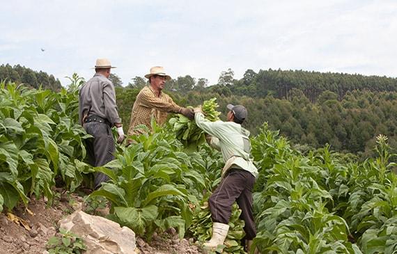 tobacco farming thumb