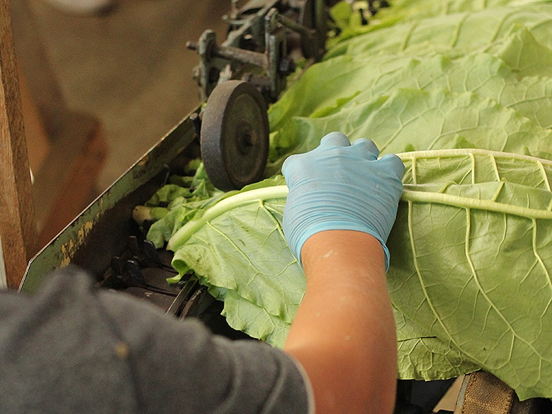 tobacco-handle-leaves_article-crop