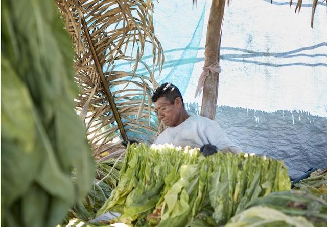 tobacco farm worker Mexico
