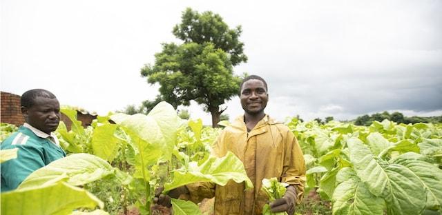 tobacco farming Malawi