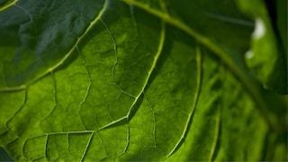 nicotine-tobacco-leaf