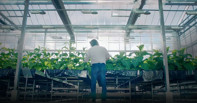 man-sorting-tobacco-gradient