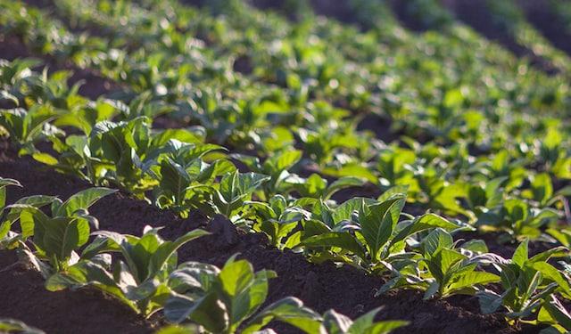 Brazil tobacco field thumbnail