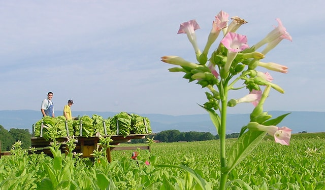 Dali tobacco fields thumbnails