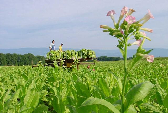 Farmers-in-tobacco-field