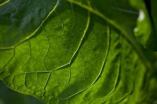 Nicotine tobacco leaf