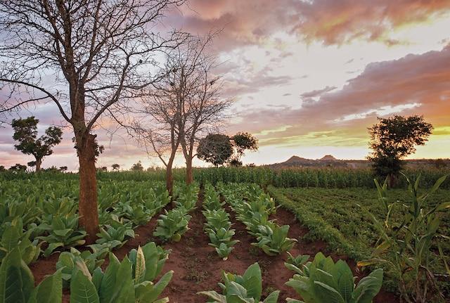 PMI Tobacco field sunset 1780x1200