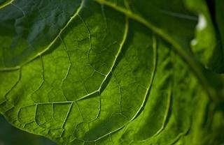 Tobacco leaf 320x208