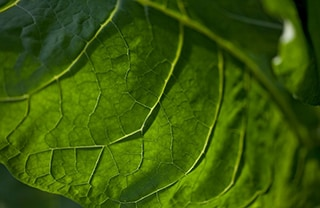 Tobacco leaf 320x208