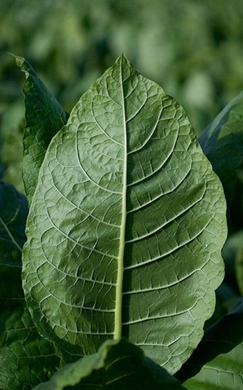 tobacco-leaf-portrait