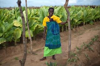 Tobacco farm Malawi section highlight