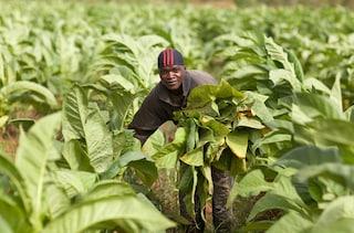 Tobacco farmer Malawi section highlight B
