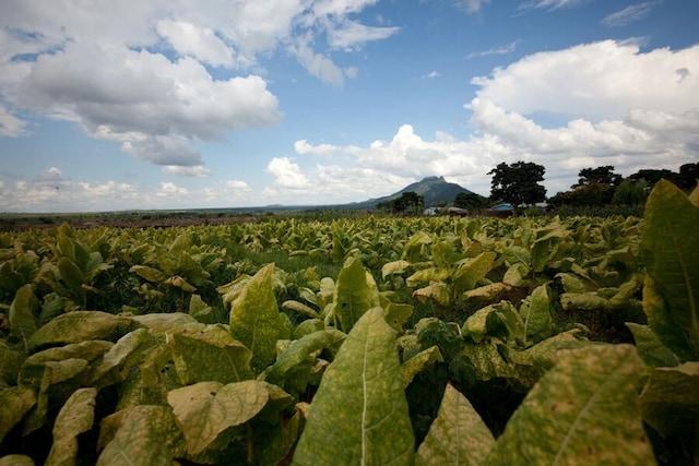 A tobacco field in Malawi
