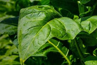banner-nicotine-leaves