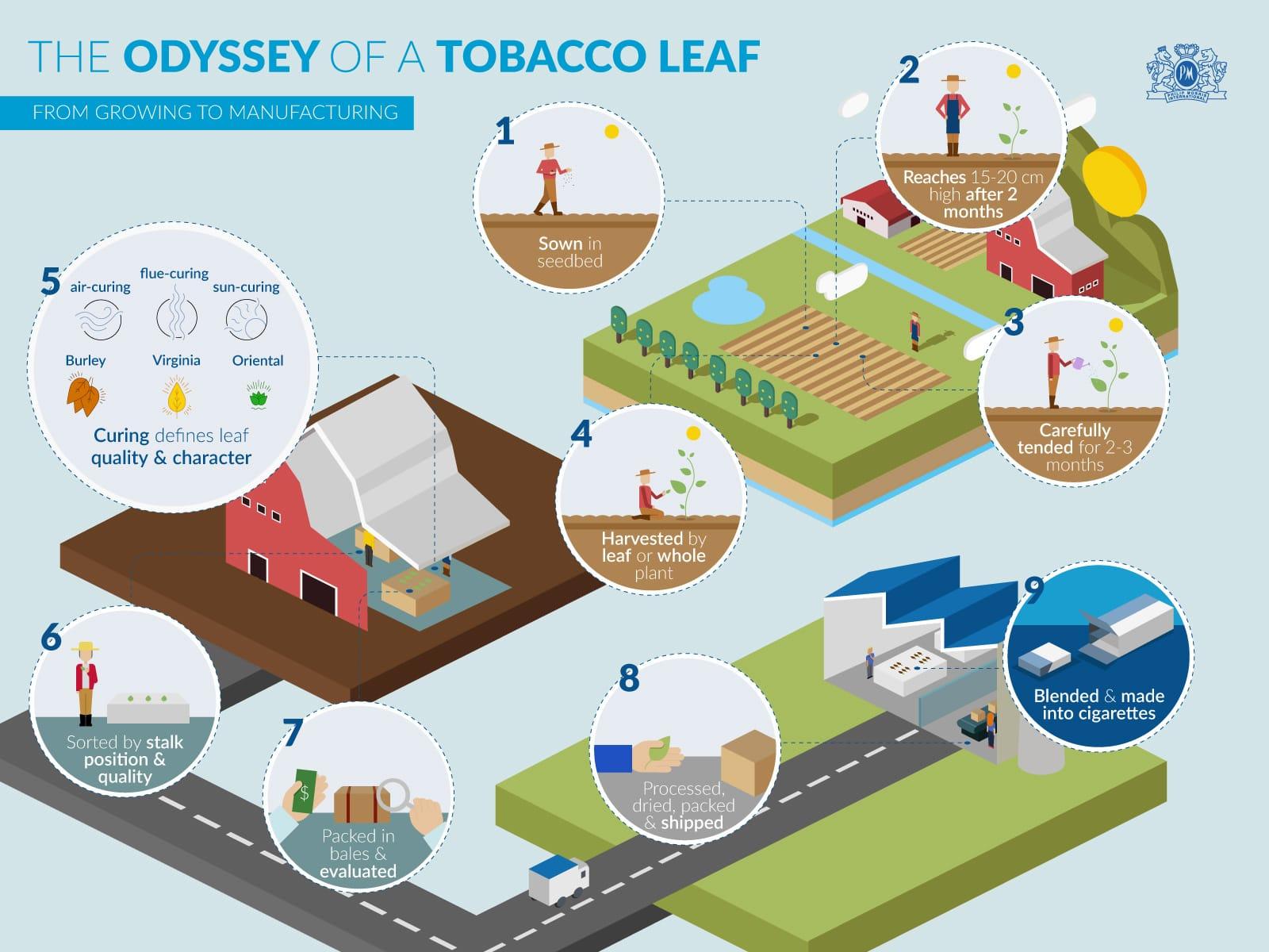 The Odyssey of a Tobacco Leaf