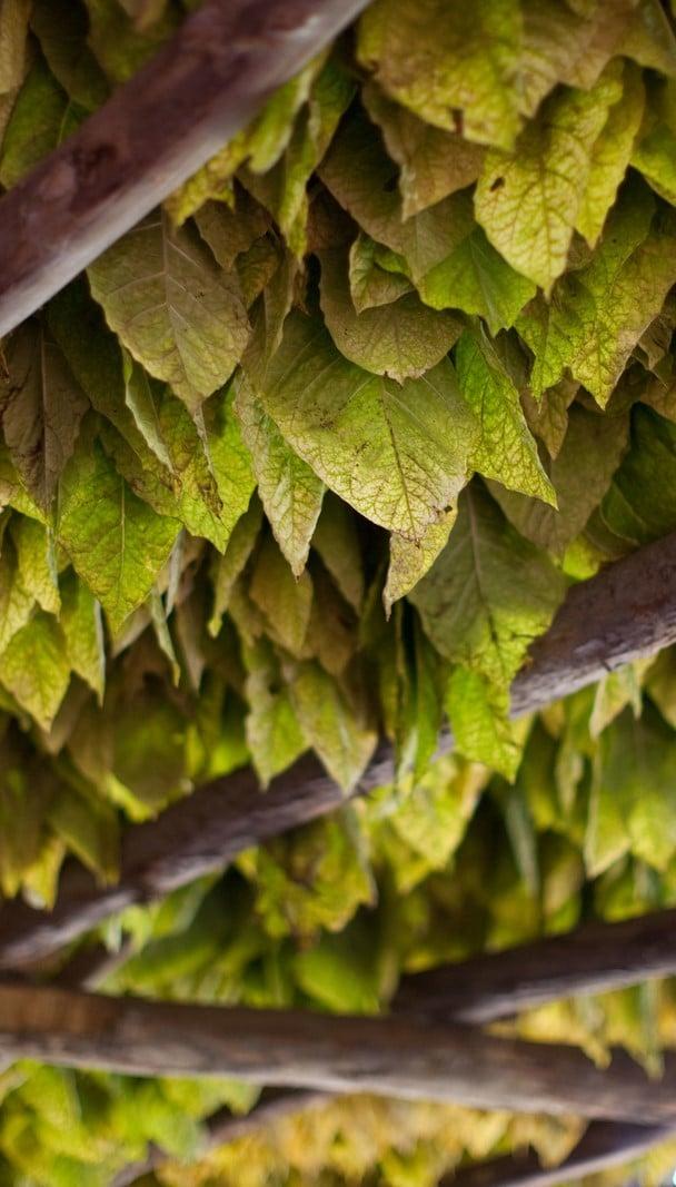 nicotine-tobacco-leaf-thumb
